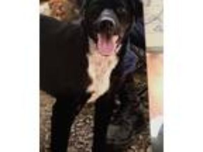 Adopt Zeppelin a Black - with White Labrador Retriever / Mixed dog in Hohenwald