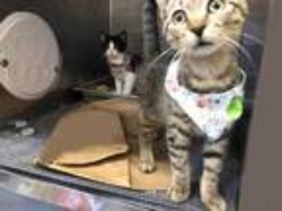 Adopt Dragon a Brown or Chocolate Domestic Shorthair / Domestic Shorthair /