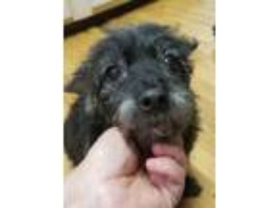 Adopt Lolli a Yorkshire Terrier, Poodle