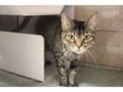 Adopt Sprinkles a All Black Domestic Shorthair / Domestic Shorthair / Mixed cat