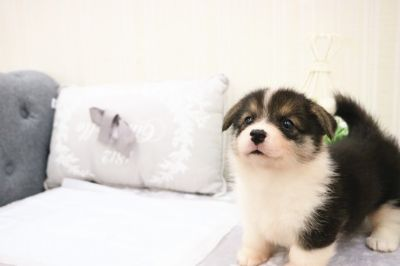 Pembroke Welsh Corgi PUPPY FOR SALE ADN-70007 - Black and White Pembroke Welsh Corgi Winston