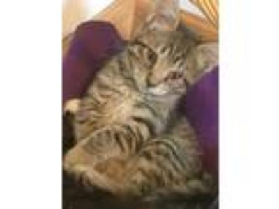 Adopt Mannix a Brown Tabby Domestic Shorthair (short coat) cat in Germansville