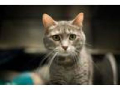 Adopt Violet a Gray or Blue Domestic Shorthair / Domestic Shorthair / Mixed cat