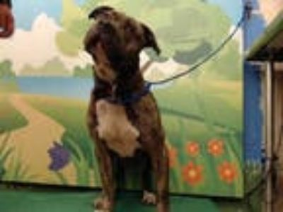 Adopt DIXON a Brindle American Pit Bull Terrier / Mixed dog in Waco
