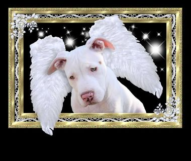 All white American pitbull for rehome. Moved and cannot keep!