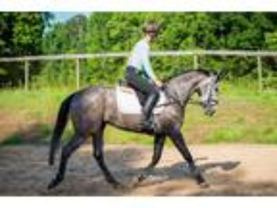 Upper Level Eventing and Show Prospect
