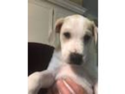 Adopt Snow a Black Mouth Cur, Shepherd