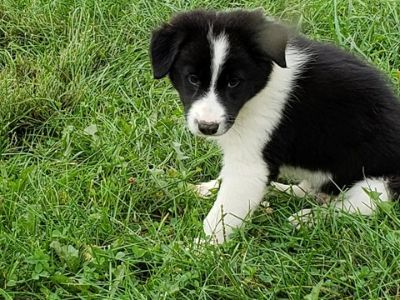 Border Collie PUPPY FOR SALE ADN-97095 - Kiliti Family Farm Border Collies