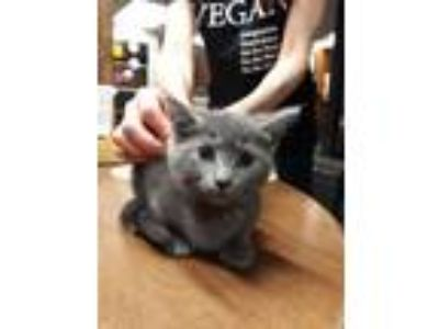 Adopt Luna a Domestic Short Hair