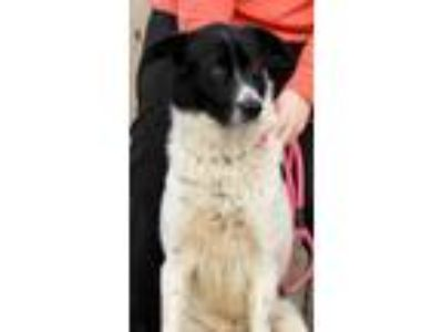 Adopt Oakland a White - with Black Great Pyrenees / Mixed dog in Joplin