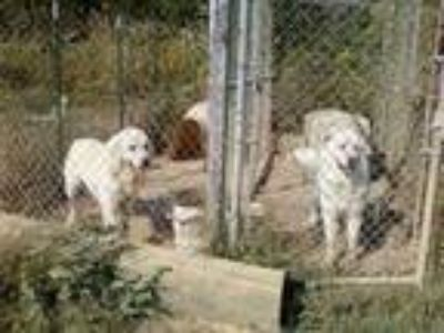 Adopt Dallas a White Great Pyrenees / Mixed dog in Alabaster, AL (20752130)