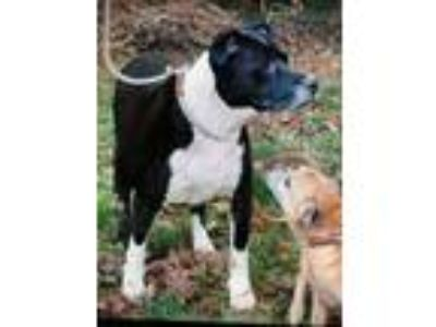 Adopt Piper - Courtesy post a Black - with White Pit Bull Terrier / Terrier