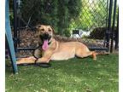 Adopt Lola a Shepherd (Unknown Type) / Mixed dog in Raleigh, NC (25644288)