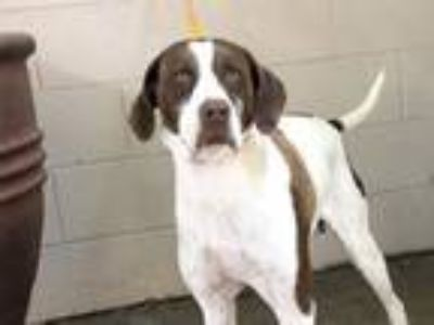 Adopt I1313204 a German Shorthaired Pointer