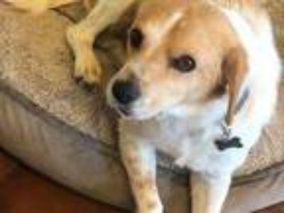 Adopt Bruce a Beagle, Boston Terrier
