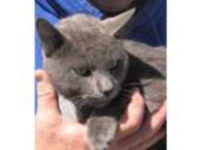 Adopt Light a Gray or Blue Russian Blue (short coat) cat in Germantown