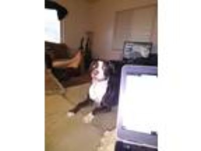 Adopt Kandie a Black - with White Boxer / American Pit Bull Terrier / Mixed dog