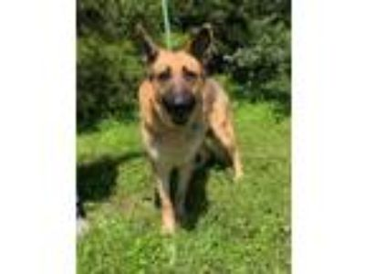 Adopt Rex a Mixed Breed, German Shepherd Dog