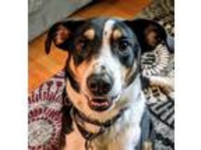 Adopt Guinness a Tricolor (Tan/Brown & Black & White) Collie / Border Collie /