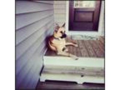 Adopt Chevy a Tan/Yellow/Fawn German Shepherd Dog / Chow Chow / Mixed dog in