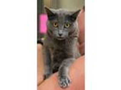 Adopt MADDIE a Chartreux, Russian Blue