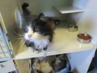 Adopt Seuss a Black & White or Tuxedo Domestic Longhair / Mixed cat in Delta
