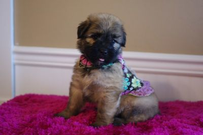 Bouvier Des Flandres PUPPY FOR SALE ADN-91425 - Lindsey Fawn female in Lewisburg PA