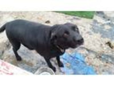 Adopt Misty a Black Labrador Retriever / Mixed dog in South Jordan