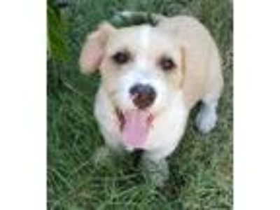 Adopt Cannoli a Basset Hound, Scottish Terrier