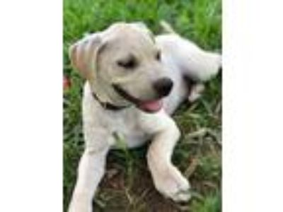 Adopt Bryson a Tan/Yellow/Fawn - with White Labrador Retriever / American Pit
