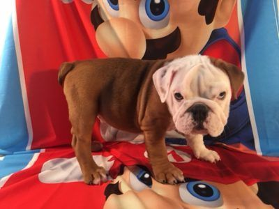 English Bulldog PUPPY FOR SALE ADN-92958 - Houston
