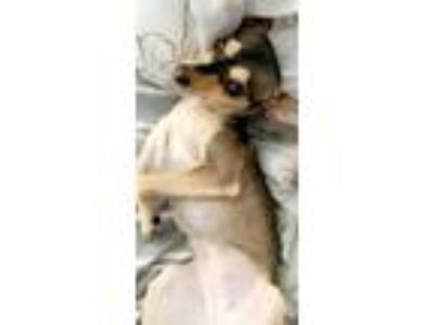 Adopt Bambi a Miniature Pinscher, Italian Greyhound