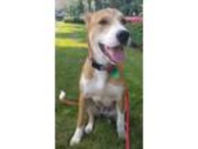Adopt Clover Adams a Collie, Labrador Retriever