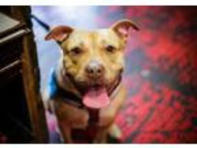 Adopt Sneaker a Tan/Yellow/Fawn American Pit Bull Terrier / Mixed dog in