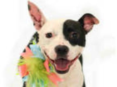 Adopt ZOE a White - with Black American Pit Bull Terrier / Mixed dog in Orlando