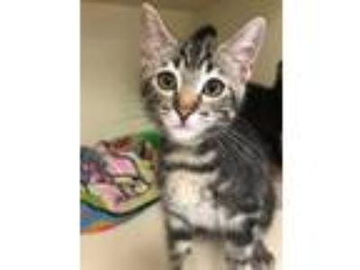 Adopt Colossus Of Rhodes a Domestic Short Hair