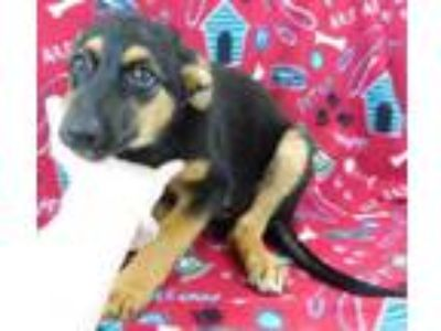 Adopt Vada a German Shepherd Dog, Border Collie