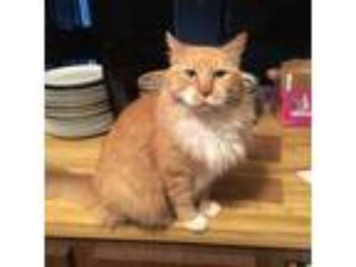 Adopt Goldie a Domestic Long Hair