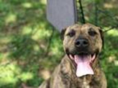 Adopt Fiona a Brindle American Pit Bull Terrier / Mixed dog in Chattanooga