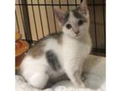 Adopt Salonga a White (Mostly) Domestic Shorthair cat in New York City