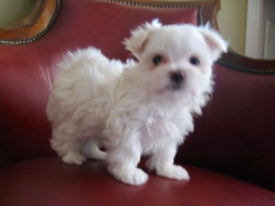 Tiny Puppies for Sale