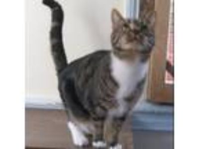 Adopt Angel a Brown or Chocolate Domestic Shorthair cat in Oyster Bay
