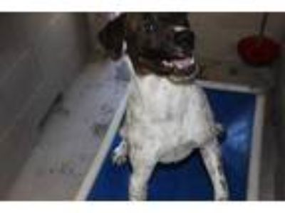 Adopt Thor a White American Pit Bull Terrier / Mixed dog in Albany