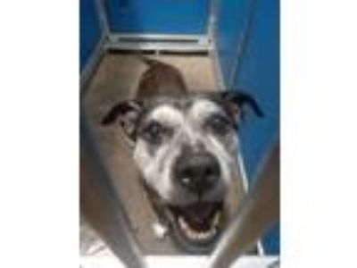 Adopt Cage 16 July 11 a Staffordshire Bull Terrier