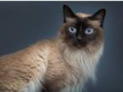 Adopt SANCHEZ a Siamese / Mixed cat in Franklin, TN (23979961)