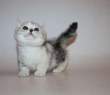 Harry Munchkin Male Kitten for sale blue eyed