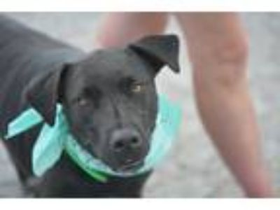 Adopt Tammy a Black Labrador Retriever / Pit Bull Terrier / Mixed dog in White