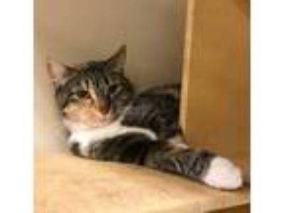 Adopt Pretty a Calico or Dilute Calico Domestic Shorthair (short coat) cat in