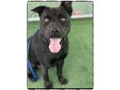Adopt BRUCE a Black - with White Pit Bull Terrier / Mixed dog in Marietta