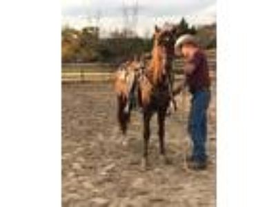 Adopt Gatsby a Chestnut/Sorrel Tennessee Walking Horse / Paso Fino / Mixed horse